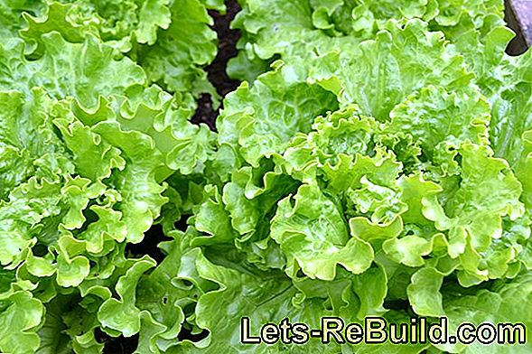 Lettuce: Plant And Harvest Salad