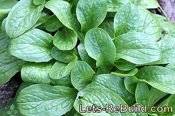 Plant and care for lamb's lettuce