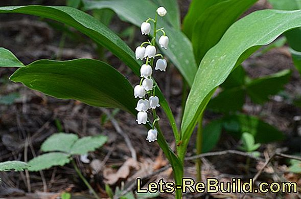 Plant Lily Of The Valley