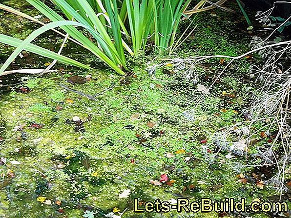 Pond in Winter: Hibernate plants and overwinter fish
