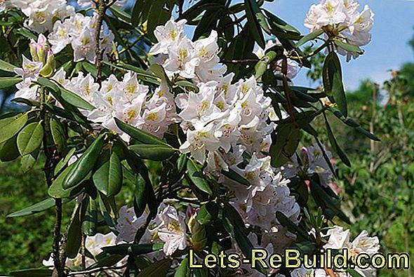 Rhododendron Varieties, Care And Location