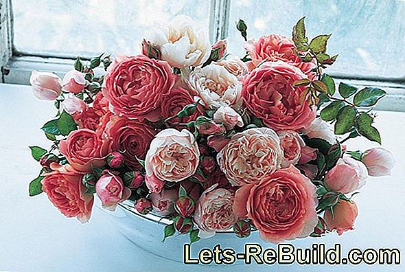 Rose Bush: Rose Varieties, Roses Care And Cut Roses