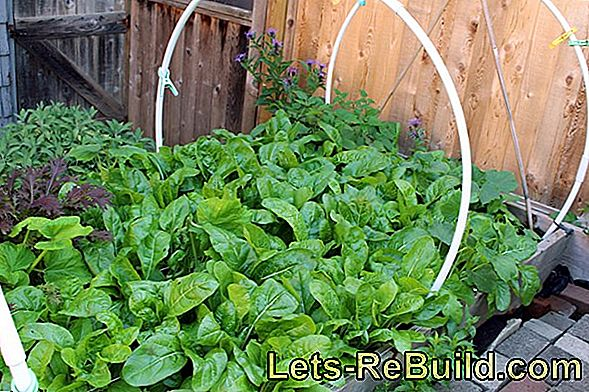 Plant and maintain chard