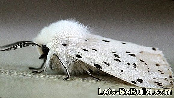 Ermine Moths