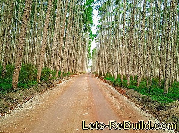 Eucalyptus Wood » Features, Uses And Prices