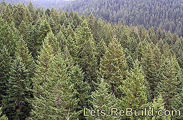 Fir Wood » Features, Use And Prices