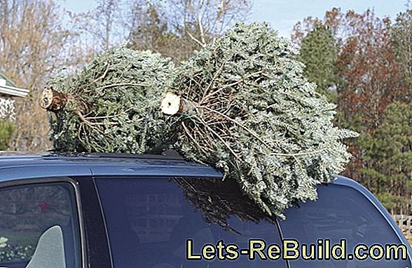 Buy Christmas tree properly