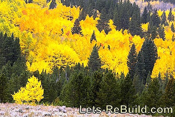 Poplar wood - the wood to the aspen foliage
