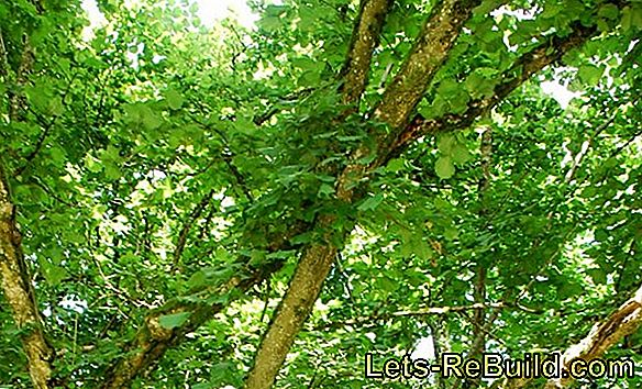 Apple tree wood - the native precious wood
