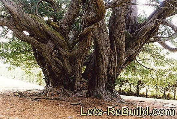 Yew Is Under Nature Protection » May You Still Fell?
